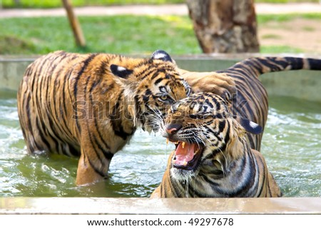 Two young tigers playing at the Tiger Kindgom Park - Chiang Mai, Thailand - stock photo