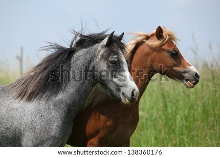 Two young welsh mountain ponnies on pasturage