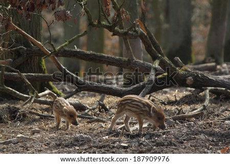 two young wild boars in spring forest - stock photo