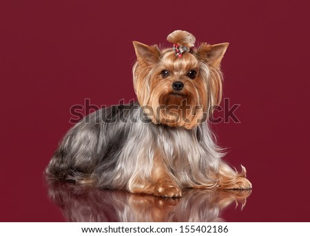 Two Young Yorkies on dark red background