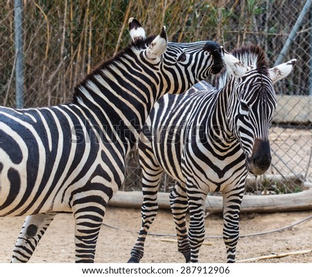 two young zebra in zoo the aviary