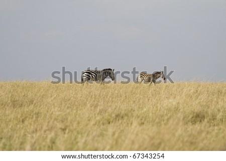 Two zebra walk along the plains of the Masai Mara in Kenya. - stock photo