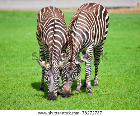 Two zebra was eating grass - stock photo