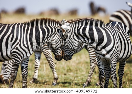 Two Zebras create perfect symmetry, harmony while standing face to face`  - stock photo