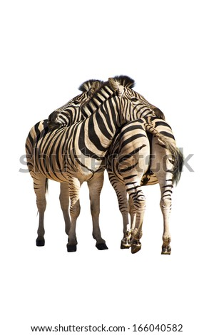Two zebras isolated on white