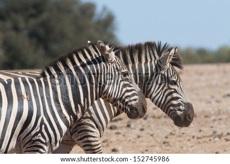 Two zebras running on a sunny day