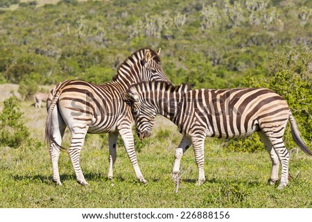 two zebras standing and showing each other some affection - stock photo