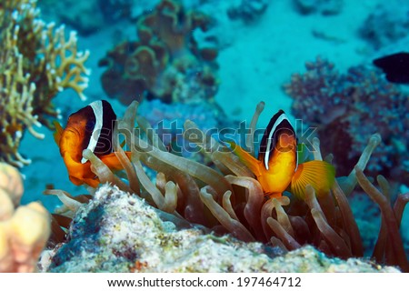 Twoband anemonefishes (Amphiprion bicinctus) and  anemone in the Red Sea, Egypt.