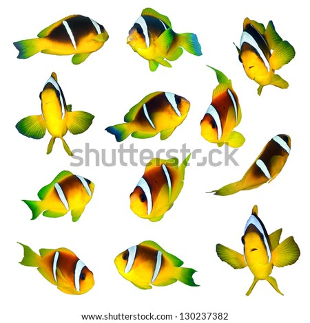 Twoband anemonefishes collection on white background. - stock photo