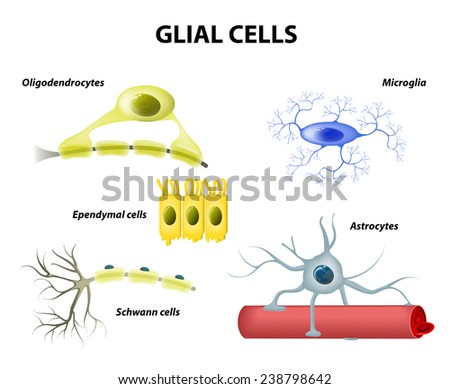 Types of neuroglia. Classification of glial cells: microglia, astrocytes, oligodendrocytes and Schwann cells, Ependymal cells - stock photo
