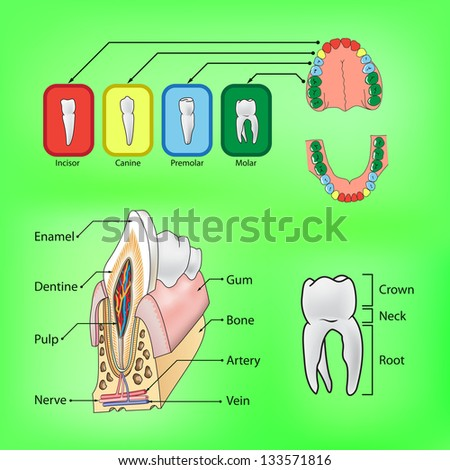 Types of teeth and external and internal structure of tooth - stock photo