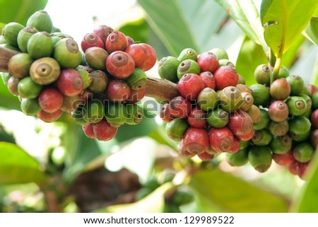 typica coffee berries - stock photo