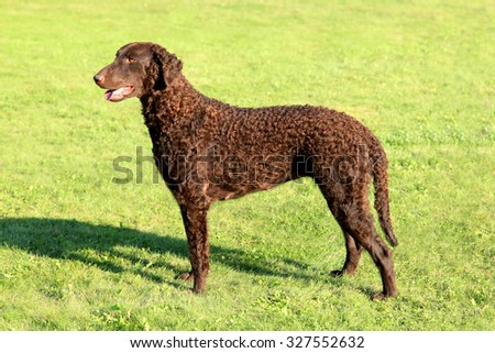 Typical Curly Coated Retriever in the garden - stock photo
