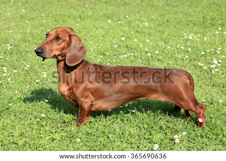Typical Dachshund Smoothie-haired Red  on a green grass lawn - stock photo