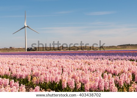 Typical Dutch bulb field in springtime showing a rich color of Hyacinths with a electric wind turbine in the background / Typical Dutch bulb field - stock photo