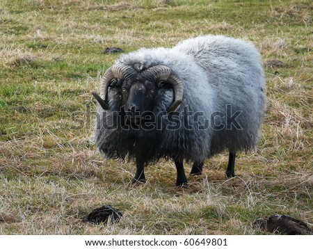 Typical Iceland sheep with horns and a thick layer of wool - stock photo