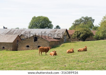 Typical Limousin cows in the French pastures near village - stock photo