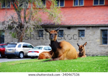 Typical scene around Mammoth Springs in Yellowstone National Park, is to see elk laying or walking across the grass.  This mother has two offspring still with spots. - stock photo