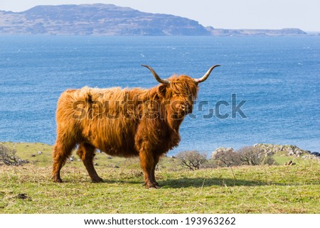 Typical scottish cow - Isle of Mull - stock photo