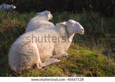 Typical sheep species living in dune landscape near Haarlem, The Netherlands - stock photo