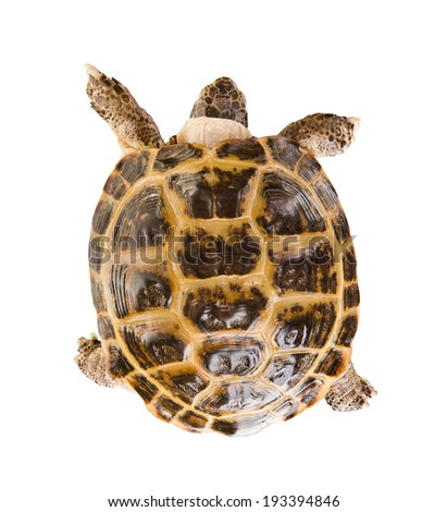 typical tortoise on white background; isolated, top view - stock photo