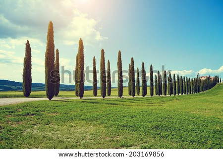typical tuscan countryside with cypress and meadow  - stock photo