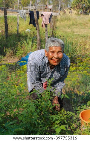 Ubon Ratchathani, Thailand - February 8, 2015: Elderly woman gathering vegetables in her vegetable garden.