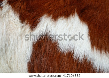 Udder of a young cow