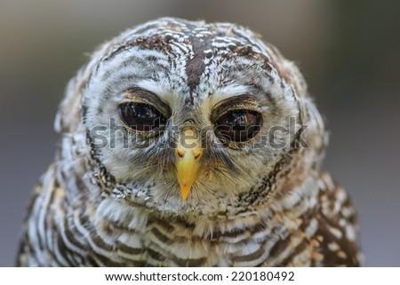 ufous-legged owl close up - stock photo