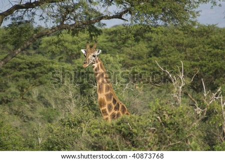 Uganda Giraffe - stock photo