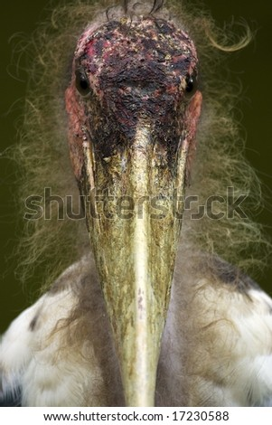 Ugly Stork - stock photo