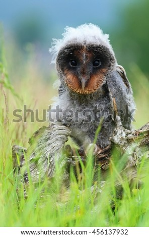 Ugly young owl Tyto alba - stock photo
