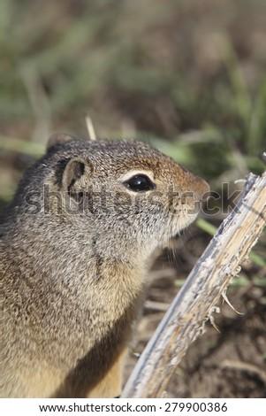 Uinta ground squirrel in Grand Teton National park - stock photo