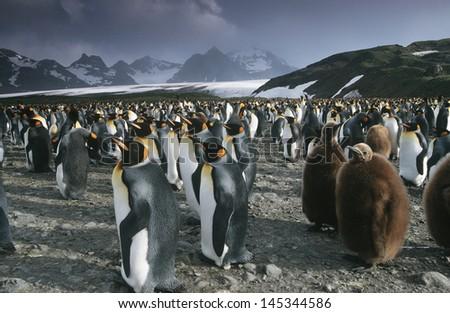 UK South Georgia Island colony of King Penguins - stock photo