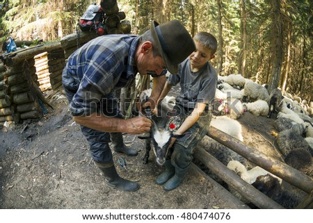 Ukraine, Kolochava - 7 August 2015: In the wild mountains of Western Ukraine has traditionally good sheep and goats decorated for beauty and protection from evil spirits paganism