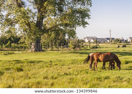Ukraine summer sunny day. Rural view. Two brown beauty horses - stock photo