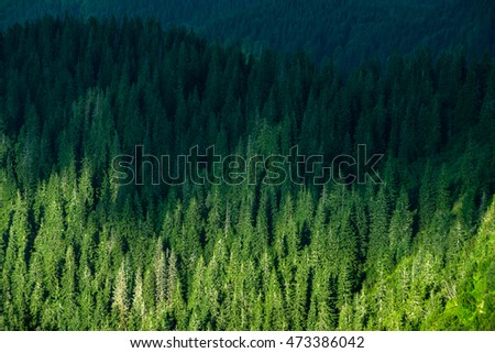 Ukrainian Carpathian fir-tree top view high resolution pictures