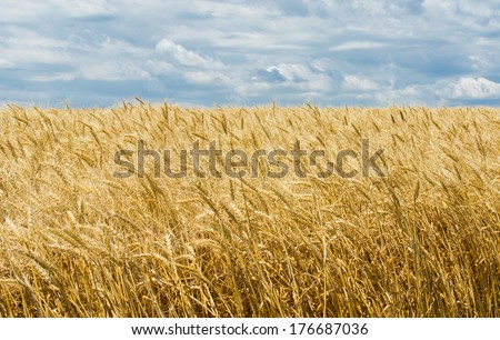 Ukrainian summer landscape with wheat field and sky