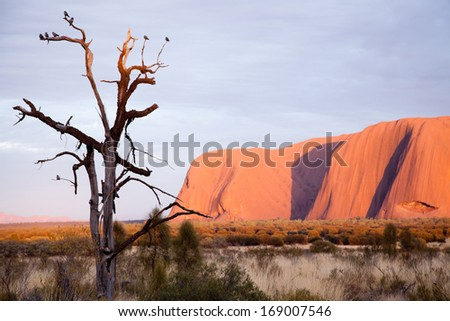 Uluru - Ayers Rock. Aboriginal sacred place. UNESO world heritage. Sunrise sun is color painting red sandstone rock. - stock photo