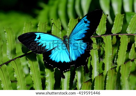 Ulysses Swallowtail (Papilio ulysses) is a large swallowtail butterfly of Australasia. This butterfly is used as an emblem for Queensland tourismblol. - stock photo