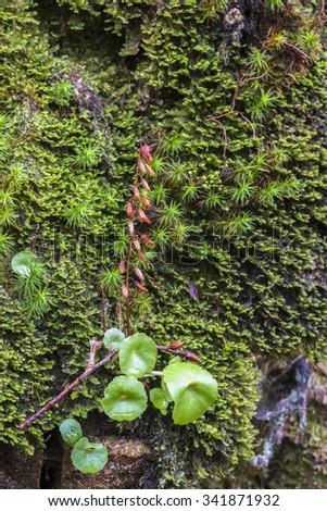 Umbilicus rupestris - stock photo