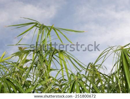 Umbrella papyrus (Cyperus papyrus) and blue sky in Majorca, Balearic islands, Spain. - stock photo