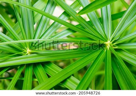 Umbrella Plant,Cyperaceae,papyrus - stock photo
