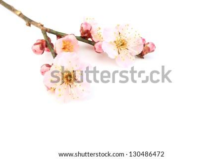 Ume Flower - stock photo