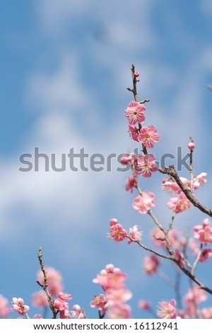 UME Japenese plum-blossom - stock photo