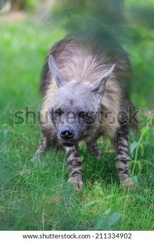 uncertain brown hyena - stock photo