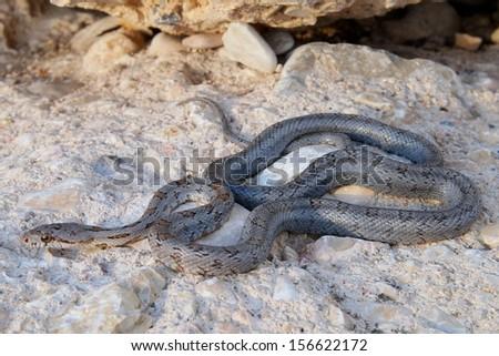Uncommon west Texas snake, a juvenile Baird's Ratsnake, Pantherophis (Elaphe) bairdi - stock photo