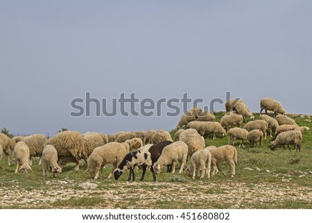 undemanding sheep in Istria found on the limestone peninsula Kamenjak still grasses and fodder - stock photo