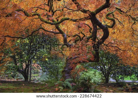 Under the Old Japanese Maple Tree in Autumn at Portland Japanese Garden - stock photo