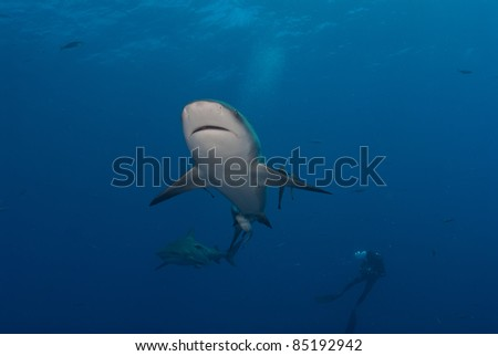 Under view of a bull shark with a diver in the background, Mozambique - stock photo